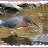 Green Heron - May 3, 2012 - Sullivan's Pond, Dartmouth, NS