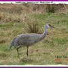 Sandhill Crane - January 14, 2007 - Rhodes Corner, Lunenburg Co, NS