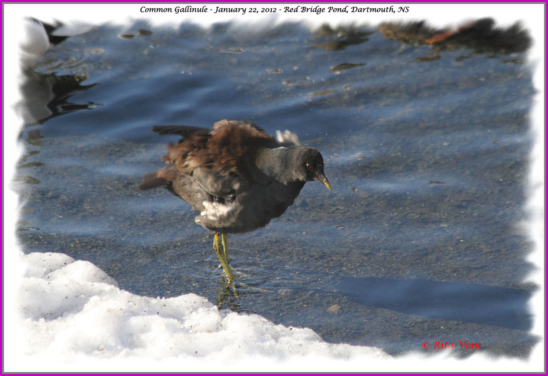 Common Gallinule - January 22, 2012 - Red Bridge Pond, Dartmouth, NS