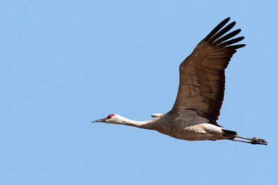 Sandhill Crane taken at Merced Wildlife Refuge 400mm f5.6L