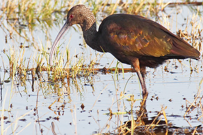 Glossy Ibis taken at Merced Wildlife Refuge 400mm f5.6L