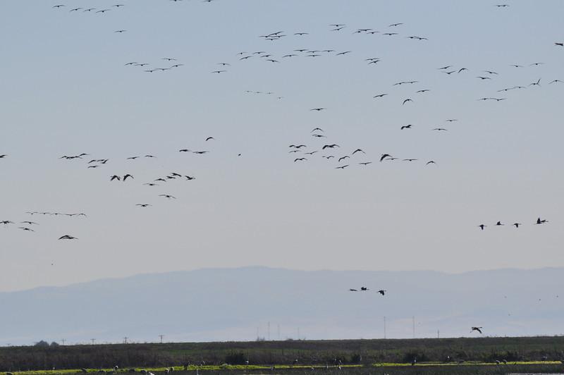 cranes_many flying_DSC_0090