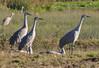 cranes_standing_DSC_0205