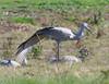 crane_wing out_DSC_0001
