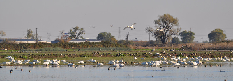 Cranes and swans on Woodbridge Road near Lodi, CA