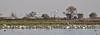 tundra swans_many_DSC_0158