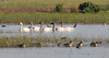 tundra swans_DSC_0152