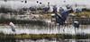 crane chasing egret_DSC_0033
