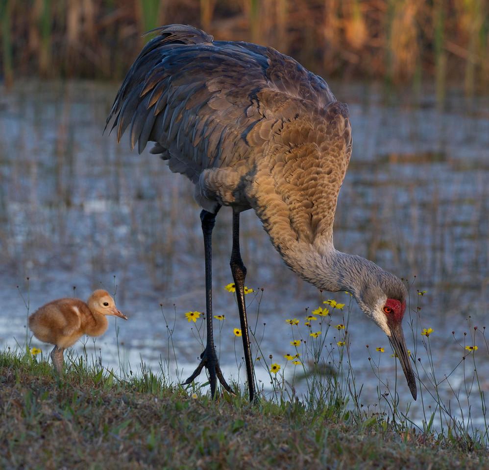 Sandhill Crane Parent & Its Colt Take A Sunday Stroll Melbourne Florida © 2013