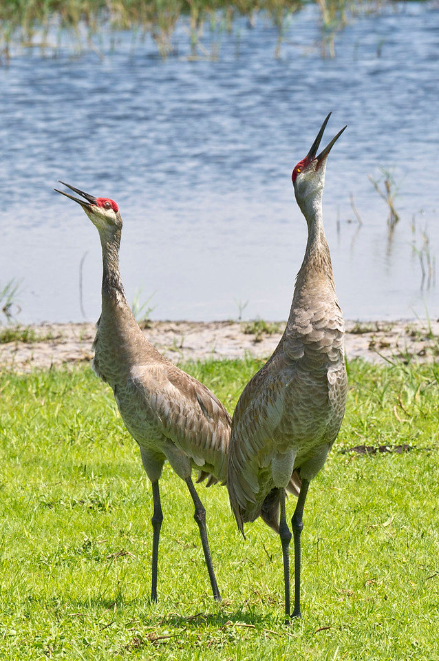 Unison Calling of Sandhill Cranes Joe Overstreet @ Lake Kissimmee Florida © 2012