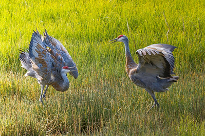 The Dance of the Sandhill Crane Pair Beluga Slough Homer, Alaska © 2013