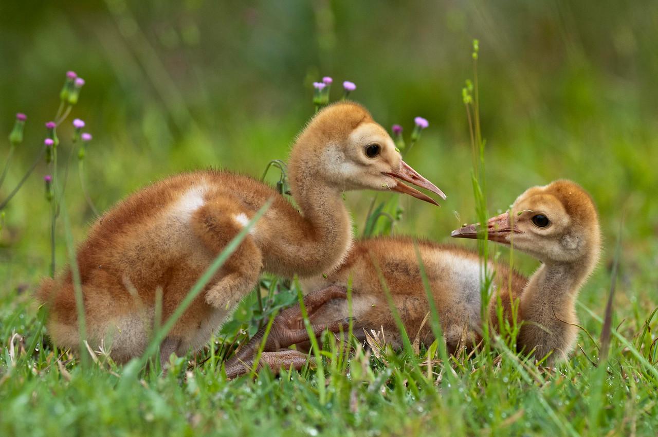 A Bonding Moment Between Sibling Sandhill Crane Colts Riverbend Park Jupiter, Florida © 2013