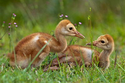 A Bonding Moment Between Sibling Sandhill Crane Colts Riverbend Park Jupiter, Florida © 2013