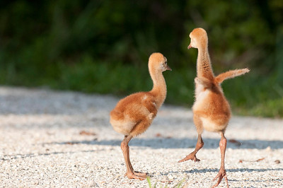 Sandhill Crane Colts Dance Riverbend Park Jupiter, Florida © 2013