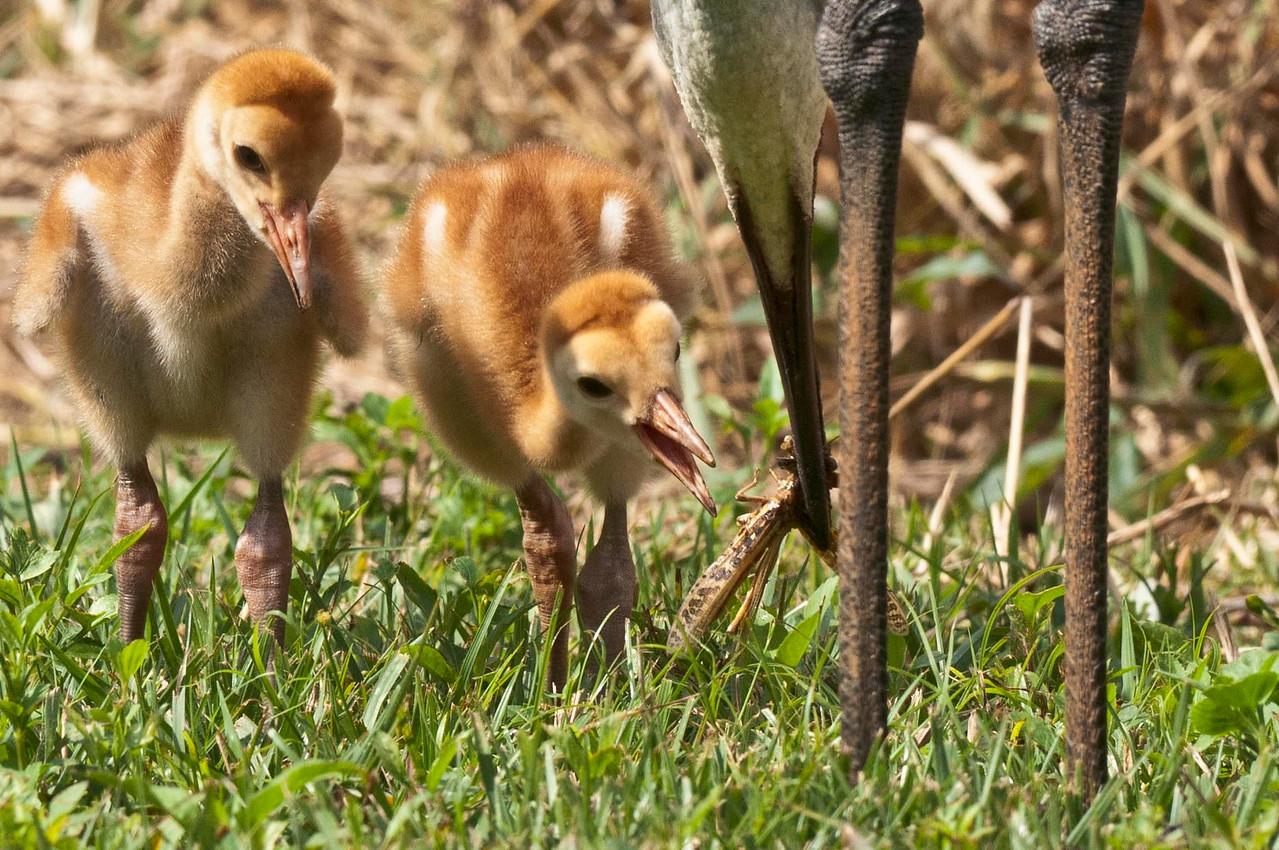 Sandhill Crane Colts At Feeding Time Riverbend Park Jupiter, Florida © 2013
