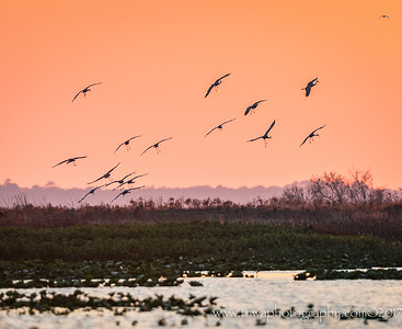 Incoming Cranes!