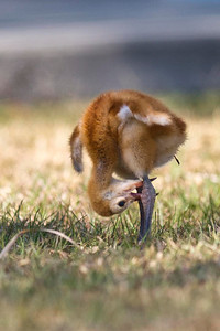 A Time of Discovery Sandhill Crane Colt Melbourne, Florida © 2013