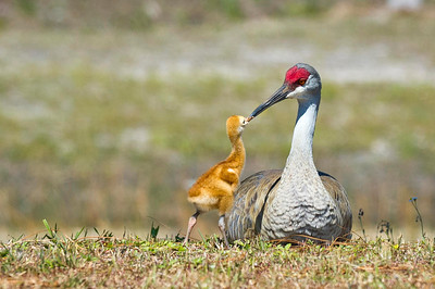 A Tender Bonding Moment Sandhill Crane Parent & Colt Melbourne, Florida © 2013
