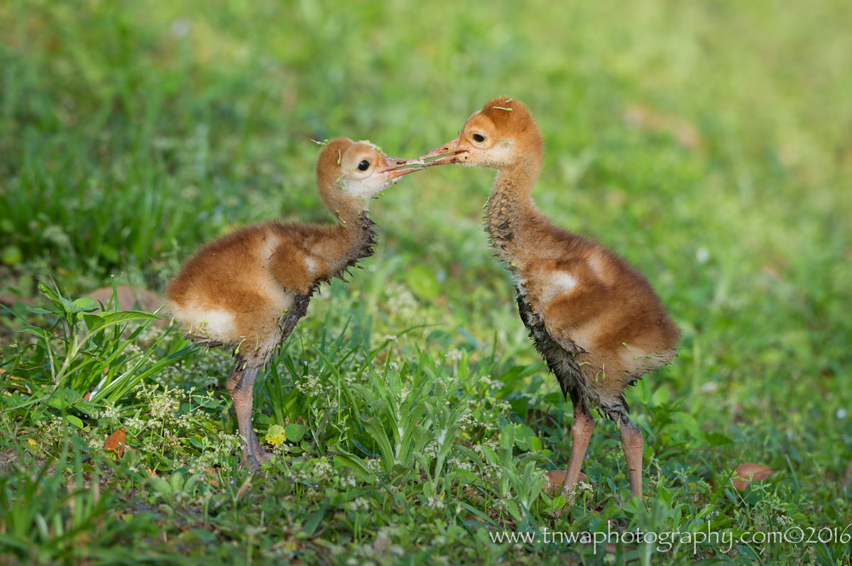 Nose To Nose Affection