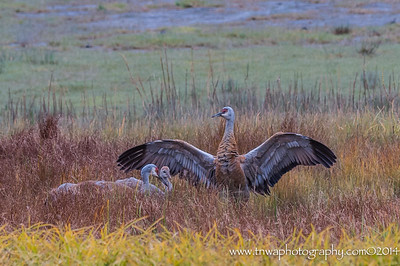 The Protector Sandhill crane family, Beluga Slough Homer, Alaska © 2014