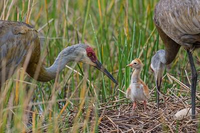 Newborn Sandhill Crane Colt Riverbend Park Jupiter, Florida © 2014