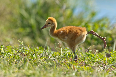 Sandhill Crane Colt Stretches Circle B Bar Reserve Lakeland, Florida © 2013