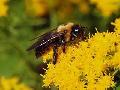 Eastern Carpenter Bee, Xylocopa virginica Linnaeus, 1771