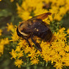 Eastern Carpenter Bee, Xylocopa virginica<br /> Linnaeus, 1771