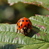 Asian lady beetle, Harmonia axyridis (Pallas, 1773)