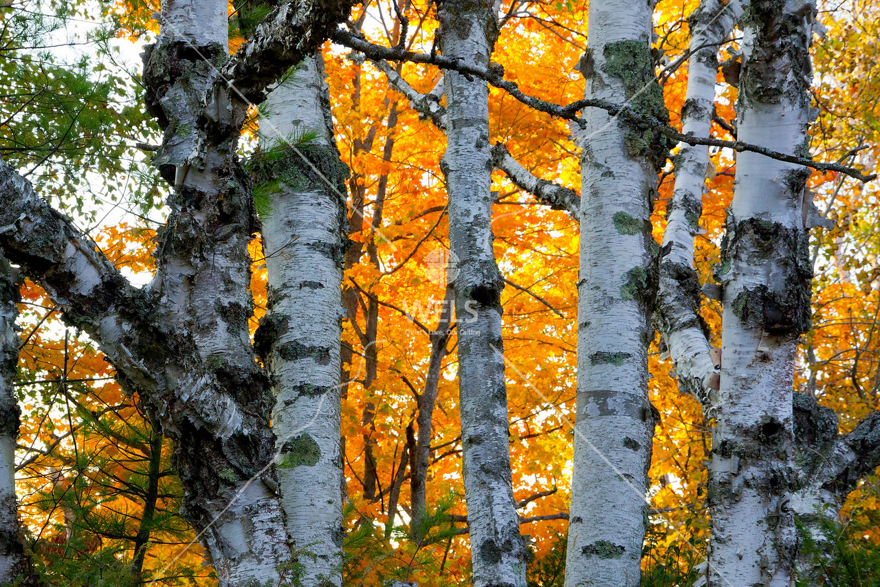 Birch and Orange by mspriggs