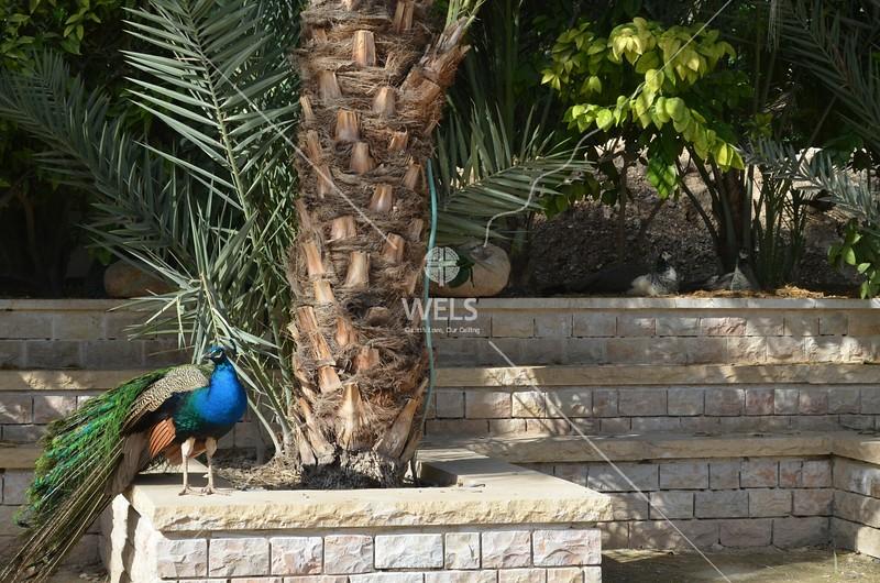 Jericho - A peacock by kdraper