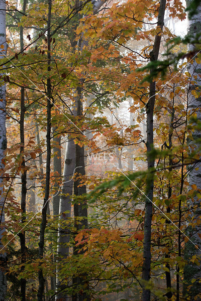 Birch Clothed in Autumn Colors by mspriggs