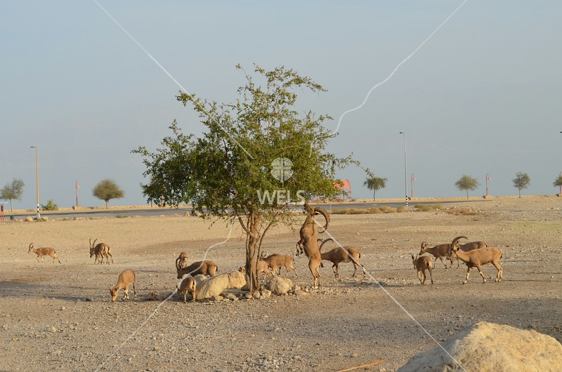 En Gedi - A herd of Ibexes. One is eating from the tree by kdraper