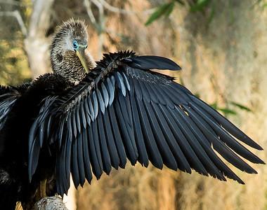 Anhinga-Florida (Snakebird)