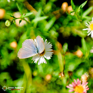Common Grass-blue butterfly on Erigeron