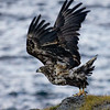 Sea eagle takeoff I<br /> Nyksund