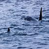 Killer whales at the jetty in Nyksund, Vesterålen I