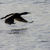 Touching down<br /> Great black cormorant in flight, Nyksund