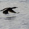 Touching down<br /> Great black cormorant in flight, Nyksund