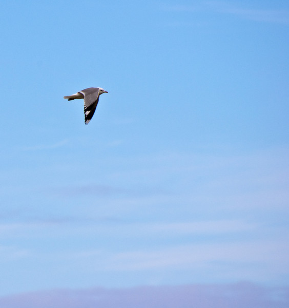 Lazy gull in flight