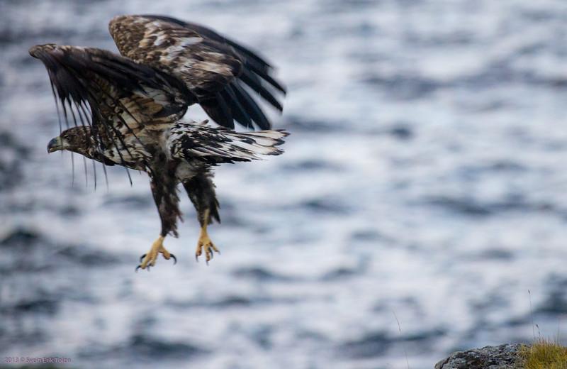 Sea eagle takeoff II<br /> Nyksund
