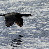 Low level, high speed flight II<br /> Great black cormorant, at Nyksund