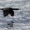 Low level, high speed flight II<br /> Great black cormorant, at Nyksund