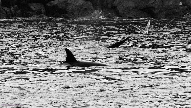 Killer whales at the jetty in Nyksund, Vesterålen II