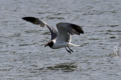 A Laughing Gull skims the water for a meal.