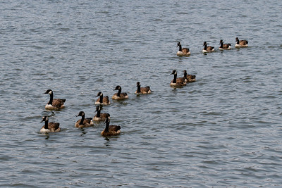 Some of the many domestic geese that ply the waters of The Hague.