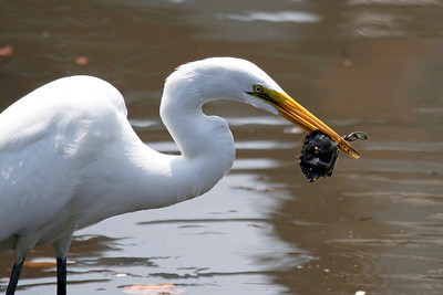 This egret demonstates that biting off the legs and claws first makes crabs much easier to swallow.