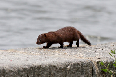 A Mink in the Hague?  What a surprise!