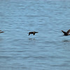 <b>Birds At Sea</b> - I just enjoy what I was able to do with the colors in this photo, making it look like an old Kodachrome slide.  It must be exciting to be a bird sometimes, flying only a few inches above the water.