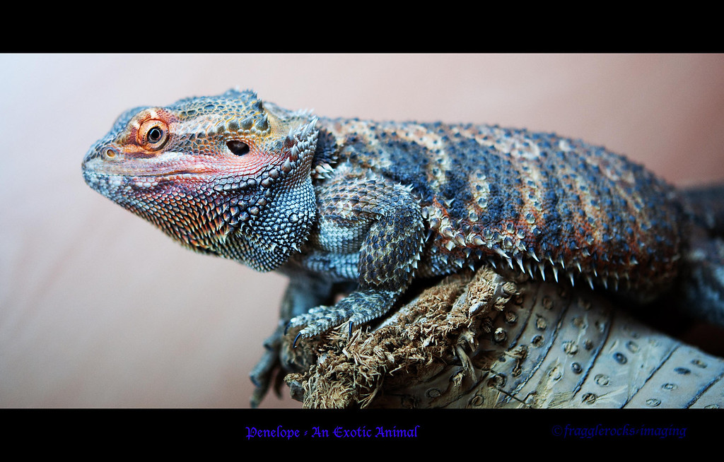 Penelope<br /> <br /> my chap's son's bearded dragon, she's cute!
